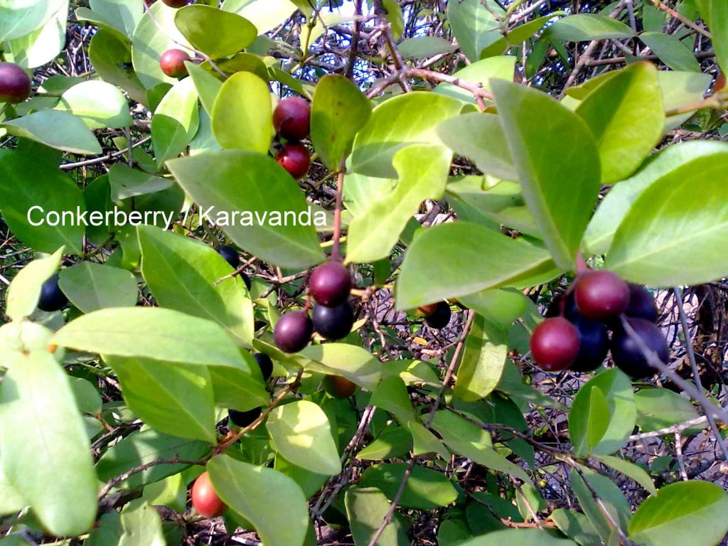 Conkerberry