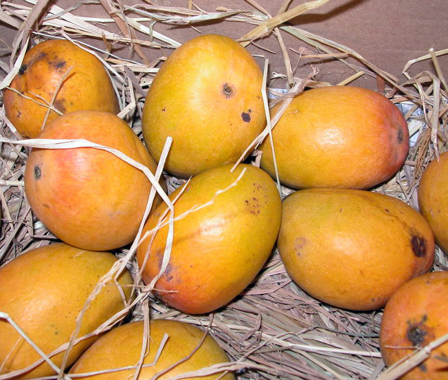 Alphanso Mango | Fruits in Konkan